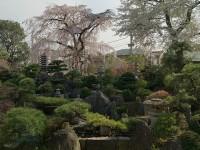 妙法寺の桜